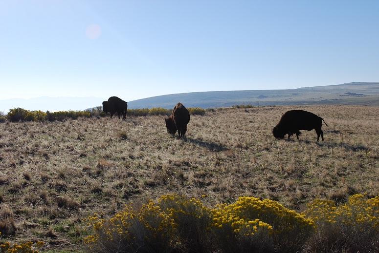 Bizóny, Antilopí ostrov, Utah