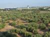 Olivový háj pri letisku v Bari