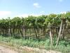 Vinica v Apúlii