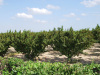 Olivový sad, Apúlia