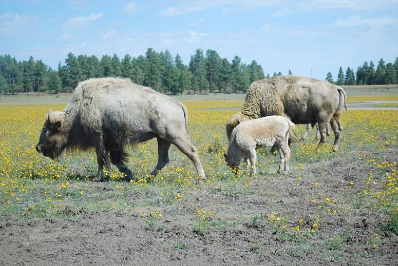 Biele bizóny, Bearizona v Arizone
