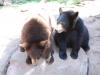 Medvede čierne, Bearizona v Arizone