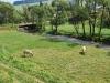 Čiernohronská železnica, kravy pri rieke Hron