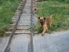 Čiernohronská železnica, naháňa nás pes