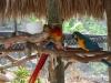 Papagáje na Aligátorovej farme, Everglades, Florida