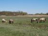 Kone Przewalského, Hortbágy Nemzeti Park, Maďarsko