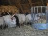 Ovce s vývrtkami, Hortbágy Nemzeti Park, Maďarsko