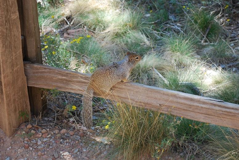 Drzé veveričky otravujú ľudí, Zion National Park, Utah