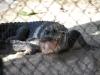 Aligátor, Aligator Farm, Florida, USA
