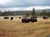 Yellowstone National Park 115